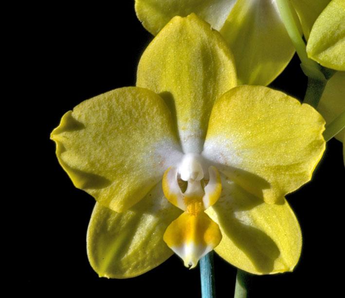 fleur de phalaenopsis en éclairage de face