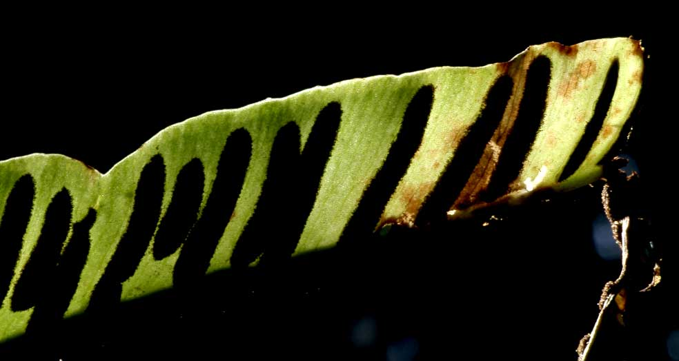 spores de scolopendre en contre-jour