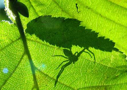ombre d'araignée-crabe