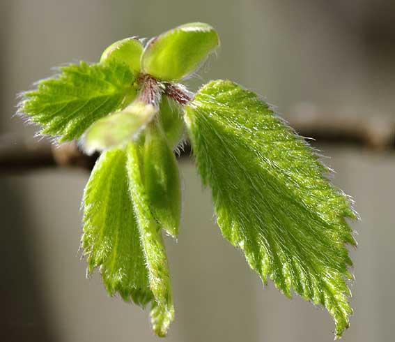 poils sur feuilles de noisetier