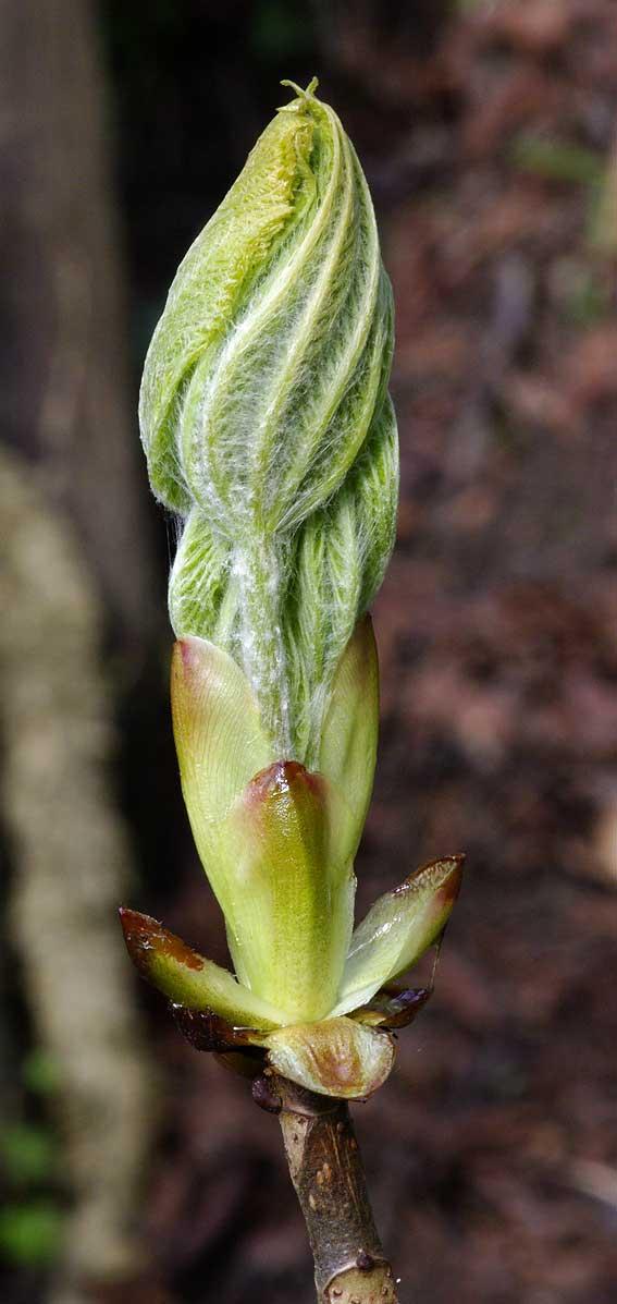 poils sur feuilles de marronnier