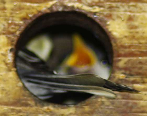 adulte et jeunes mésanges au nid