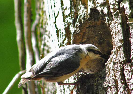 sittelle devant l'entrée du nid