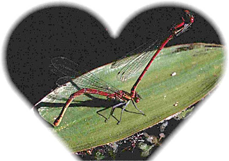 libellules en ponte