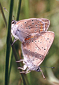papillons accouplés