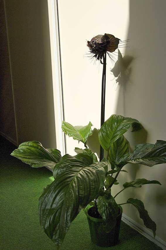 la Tacca plante asiatique