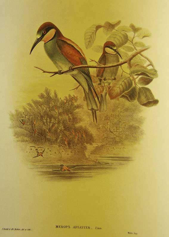 guêpiers par J. Gould en 1867