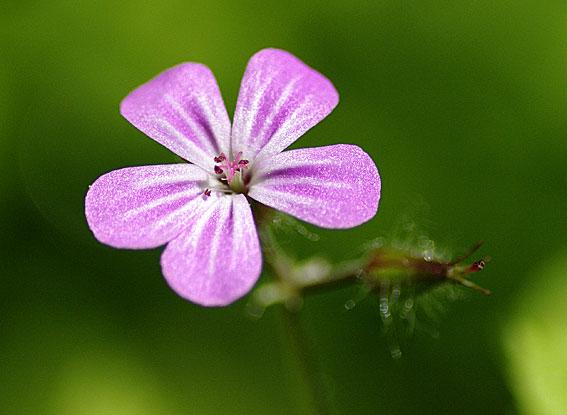 fleur de géranium des bois