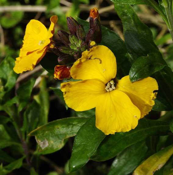 fleur de giroflée