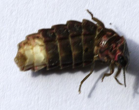 femelle lampyre de dessous