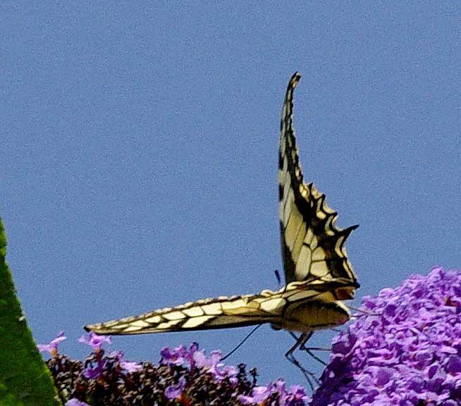 dessus et dessous d'ailes du Machaon