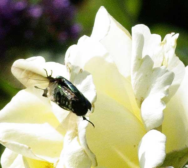 cétoine atterrissant sur une rose