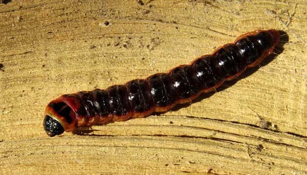 chenille de Cossus cossus L.