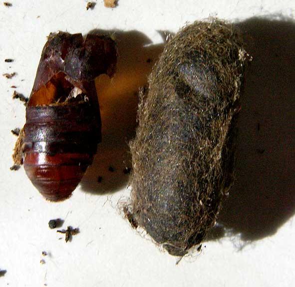 exuvie et cocon de Cossus gâte-bois