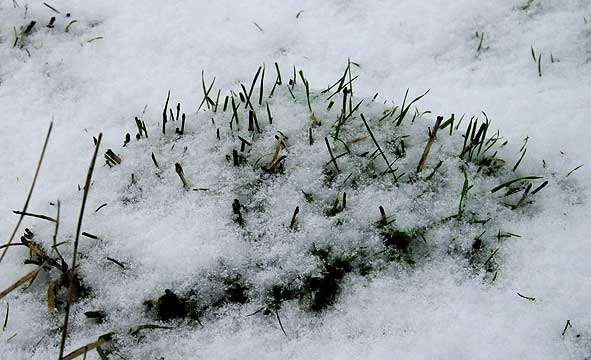 motte herbue devenue hérisson de neige