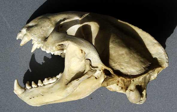 crâne de blaireau