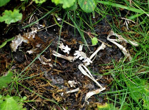 squelette de lérot