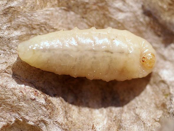 larve de Dolichovespula media