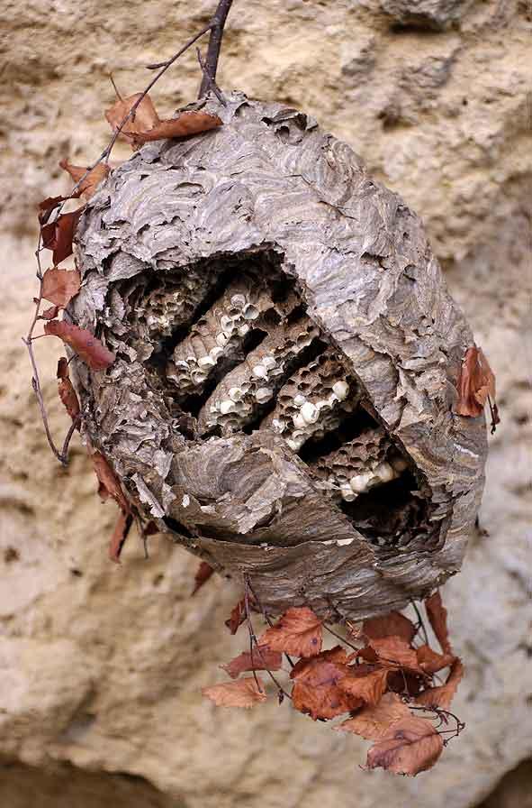 coupe d'un nid de Dolichovespula