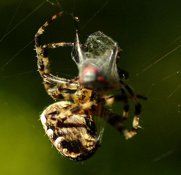 fils de soie de la tégénaire recouvrant un insecte