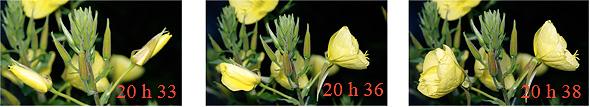 ouverture de deux fleurs d'onagre