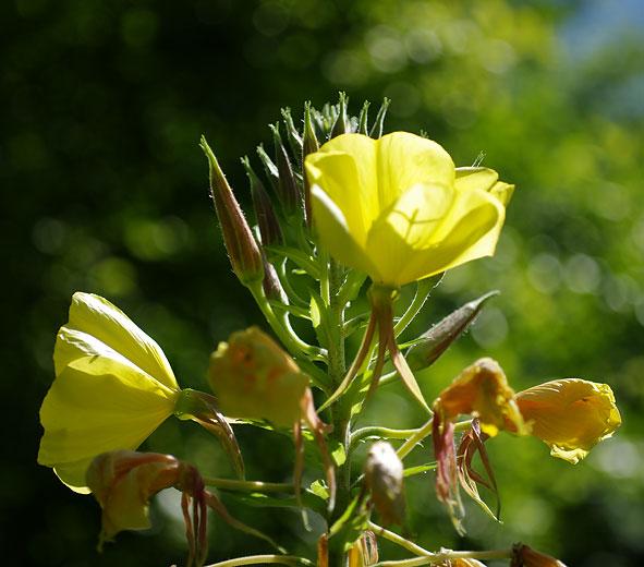 onagre en fleurs
