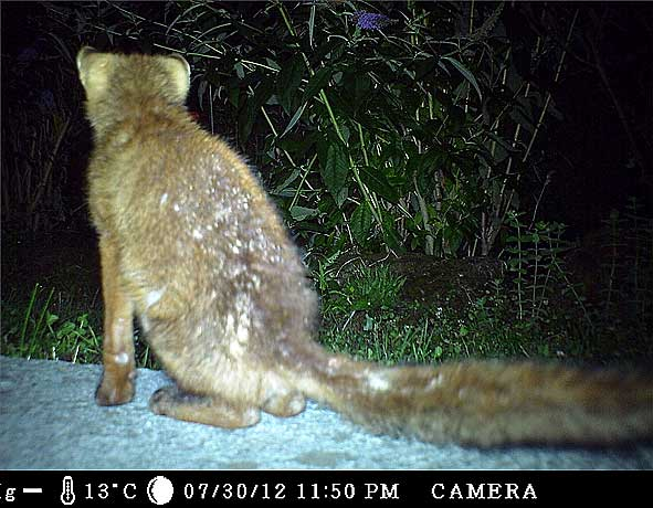 renard de garde assis sur une terrasse de jardin