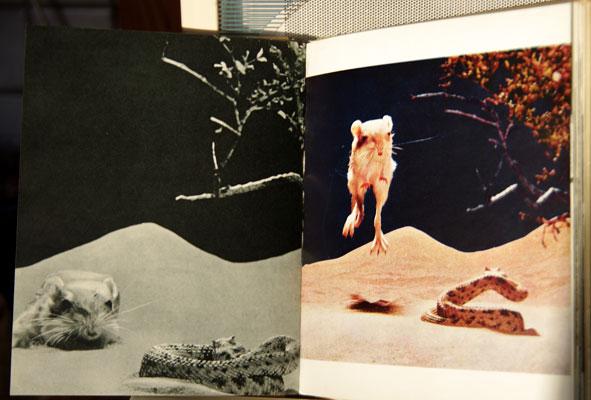 combat d'un rat kangourou et d'un crotale