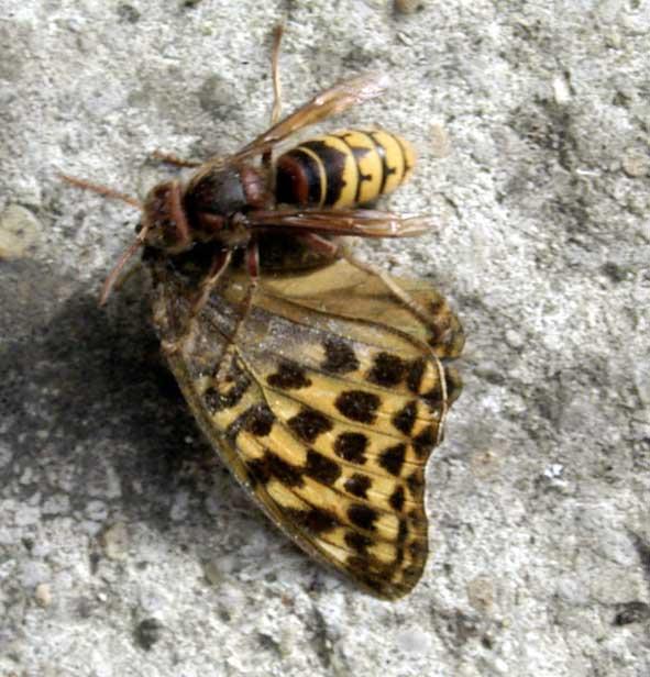 un frelon découpe les ailes d'un papillon