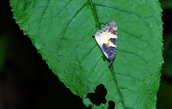 aile de petit tortue tombée après le dépeçage par le frelon