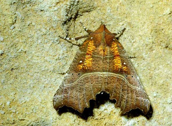 "Scoliopteryx libatrix, ""la Découpure"""